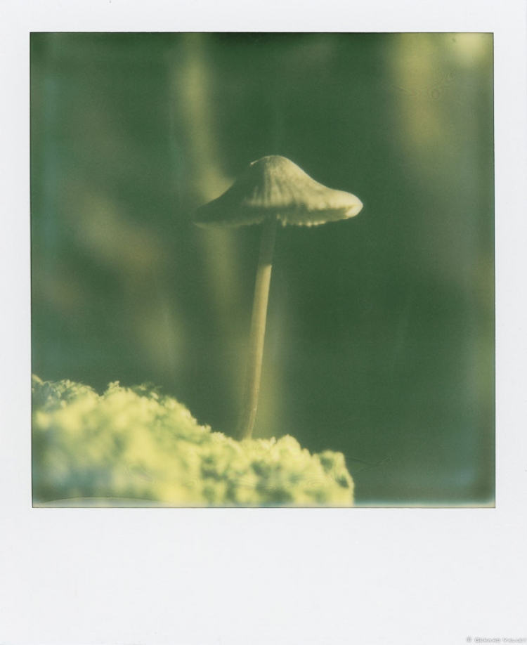 Champignon, forets de Bordeaux, SLR670 + Impossible color 600